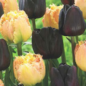 Tulip 'Brown Sugar' Mix