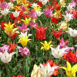 Tulip Lily-flowered Mixed