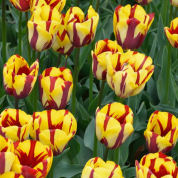 Tulip Late flowering 'Helmar'