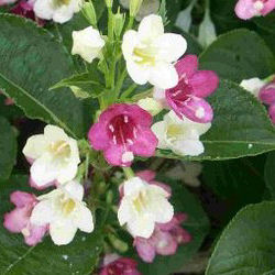 Weigelia bicolor white pink