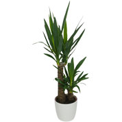 Interior Plant - Yucca 2 Trunks + White Cachepot