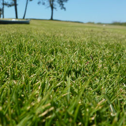 Korean Velvet Grass, Zoysia